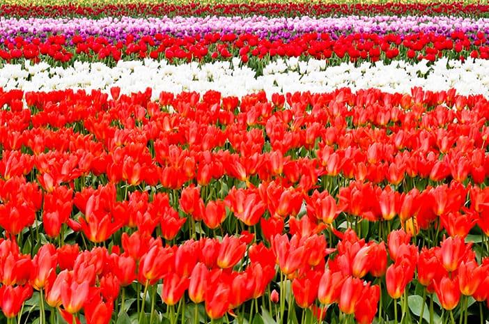 Hoa tulip tại Everland