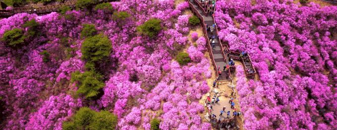 Hoa đỗ quyên nở rộ tại Incheon