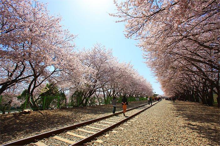 Con đường nở rộ hoa anh đào tại Ga Gyeonghwa