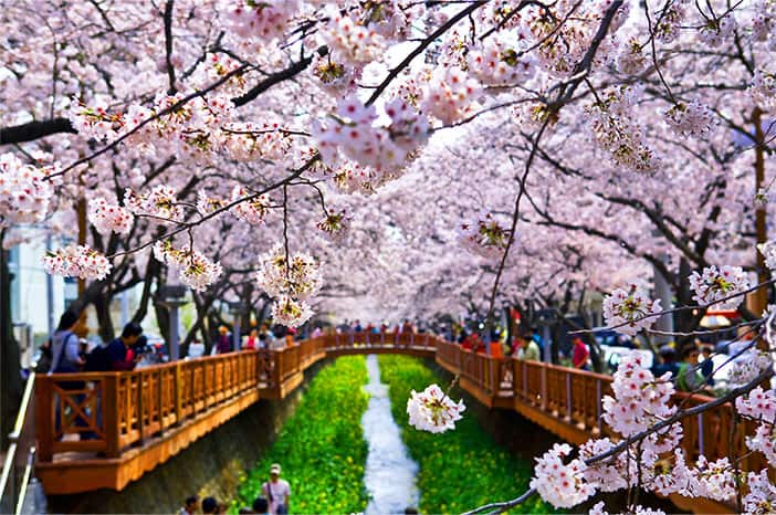 Phố hoa anh đào tại suối Yeojwacheon