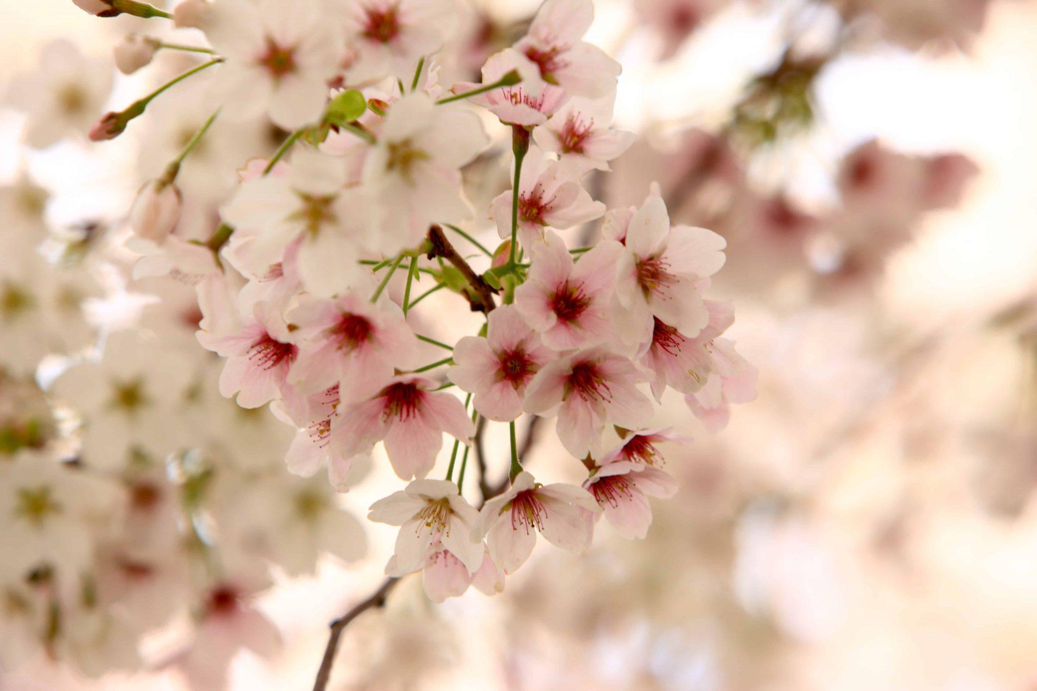 Dự báo lịch nở hoa xuân 1