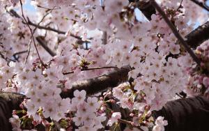 Tháng 4, đi dạo trên con đường hoa tỏa ngát hương thơm tại Jeju