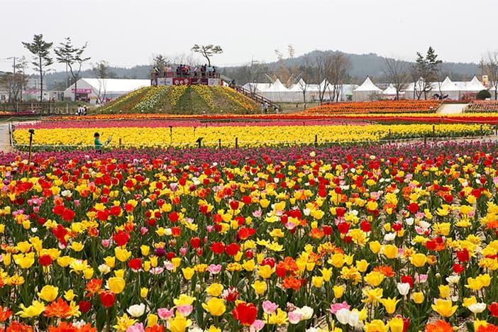 Lễ hội hoa tulip quốc tế Taean