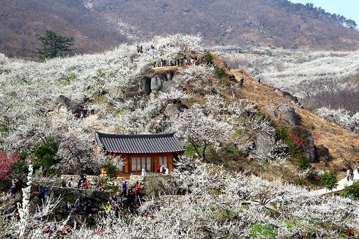 Lễ hội Gwangyang Maehwa
