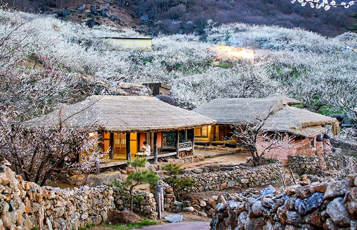 hoa tuyết trắng tại làng Gwangyang Maehwa