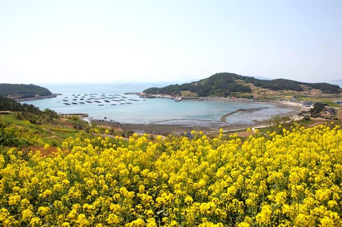 Thiên đường hoa cải dầu rực rỡ trên đảo Cheongsando