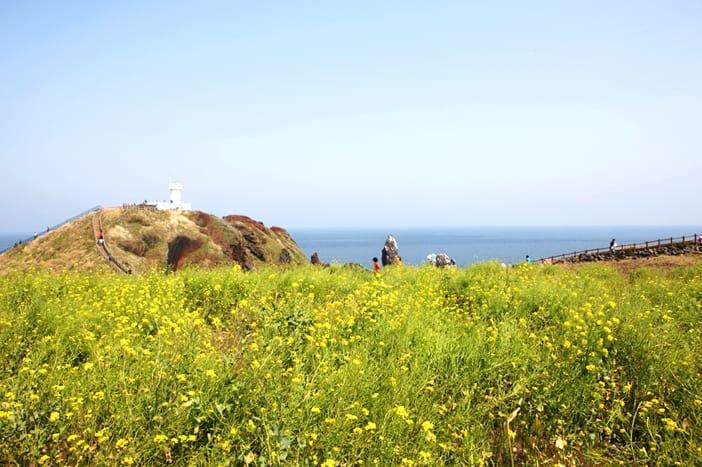 Cánh đồng hoa cải dầu ven bờ biển, Jeju Seopjikoji