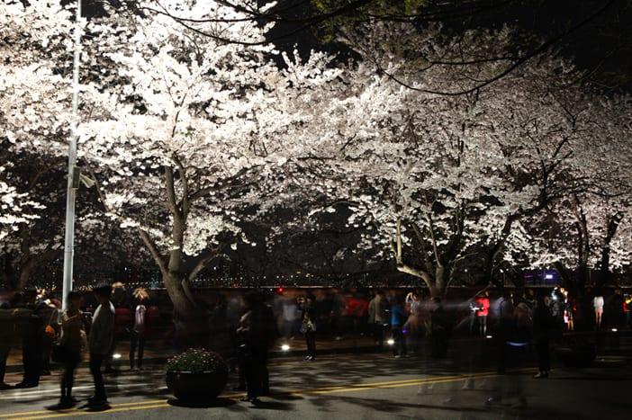 Đường hầm hoa anh đào đặc trưng của Seoul