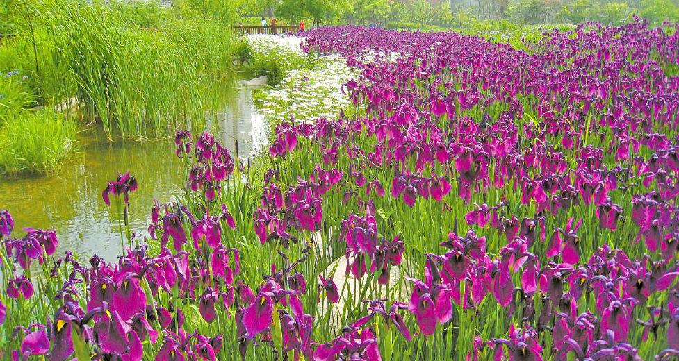 Vườn Iris Seoul