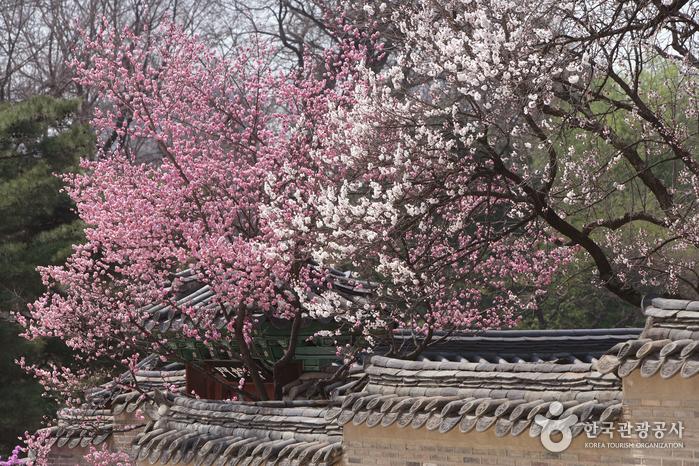 Hoa anh đào tại Cung điện Changdeokgung