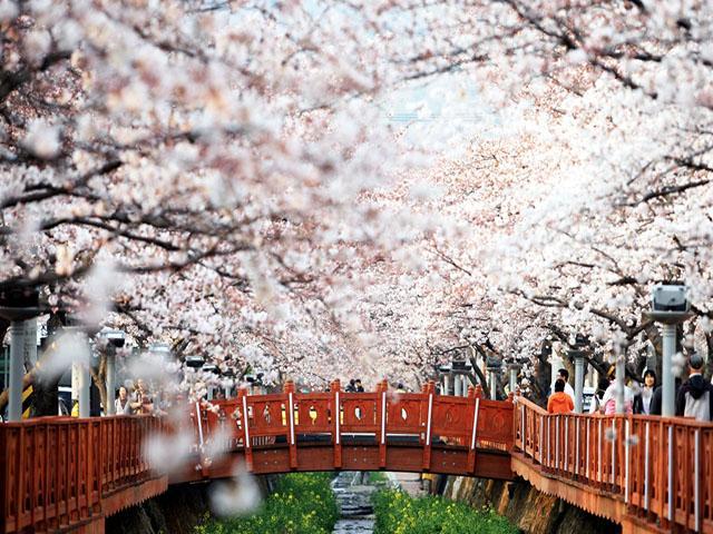 kinh nghiệm du lịch hàn quốc mùa xuân 6