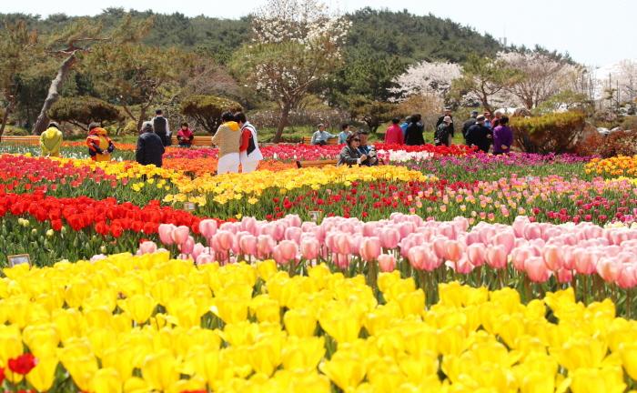 Lễ hội hoa Tulip Taean 1