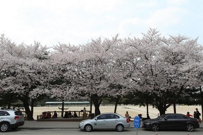 hình ảnh hoa anh đào hàn quốc 2
